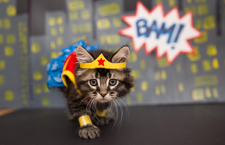 Kitten dressed up as Wonder Woman