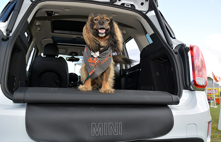 A longhaired dachshund, wearing a Best Friends bandanna, sitting in the back of an open hatchback MINI