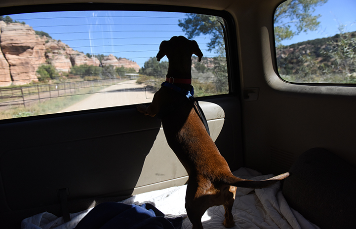 Druscilla the dachshund looking out the back window in a car