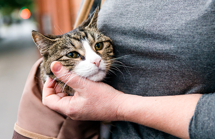 A brown tabby with white cat in a soft sided carrier slung over someone's shoulder, with his head sticking out
