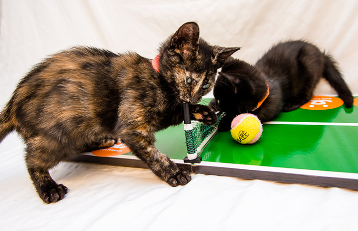 Kittens learn to play tennis