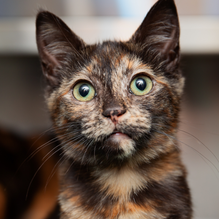 Tortoise shell kitten looking at camera