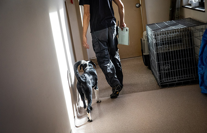Black and white puppy following a person walking down a hallway next to some kennels