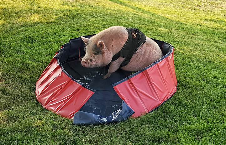 Diesel the pig sitting in a personal sized pool