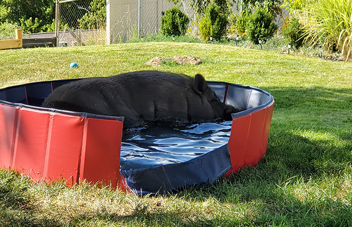 Papa the pig lying in a personal sized piggy pool