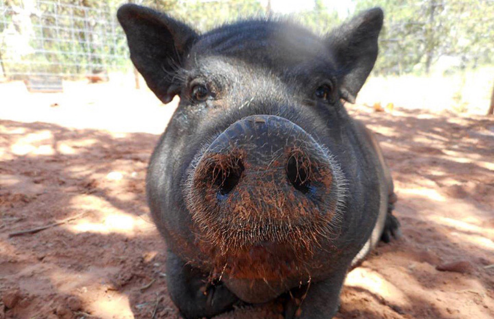 Cutie the potbellied pig looking straight at the camera