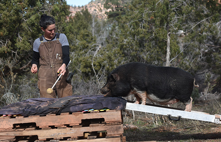 Caregiver Rosalie Wind training Moe the potbellied pig to walk on a ramp