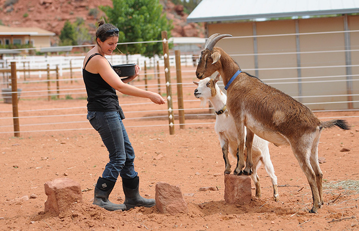 Caregiver Rosalie Wind training Steve and Pan the goats to stand with their front legs on a rock