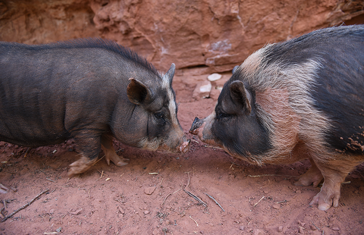 Cornelia and Charlotte the potbellied pigs, snout to snout