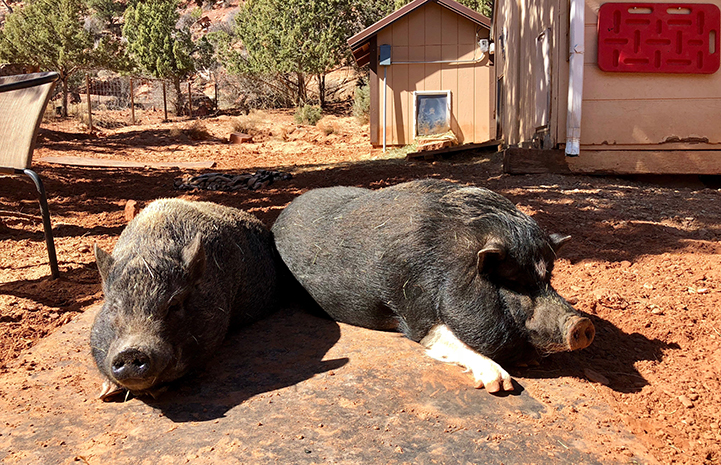 Daisy and Wilbur the potbellied pigs lying next to each other