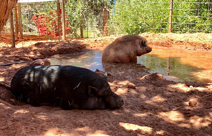 Potbellied pig pals Diesel and Moe enjoying a mud puddle