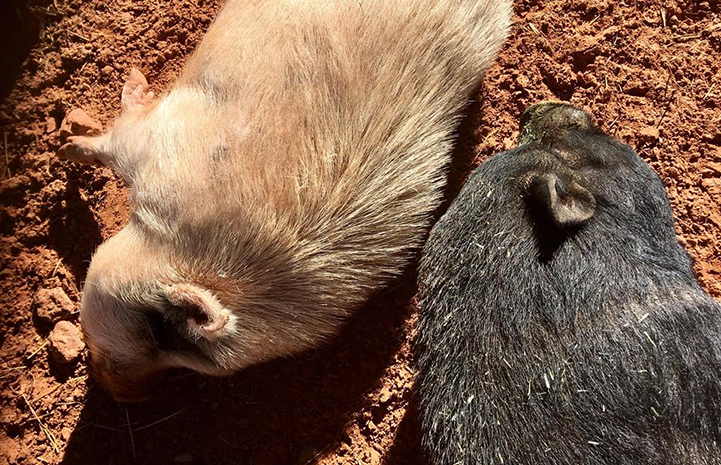 Diesel and Moe are potbellied pig pals