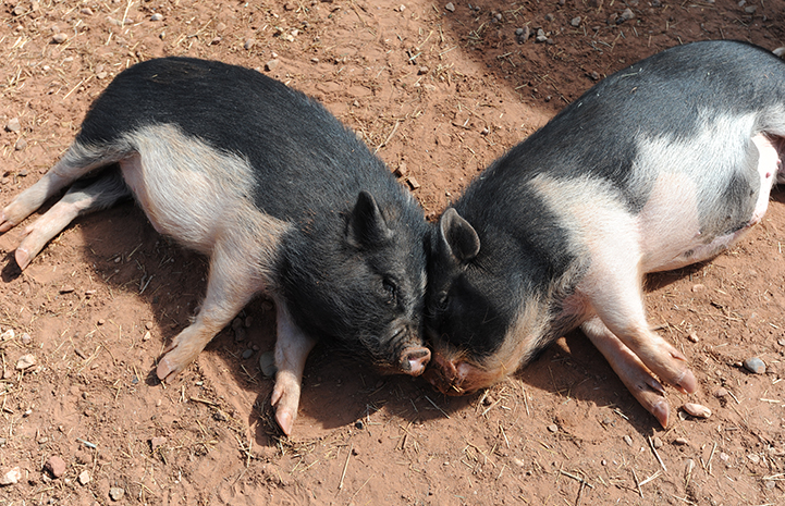 Geneser and Doogie the potbellied pigs napping together with foreheads touching