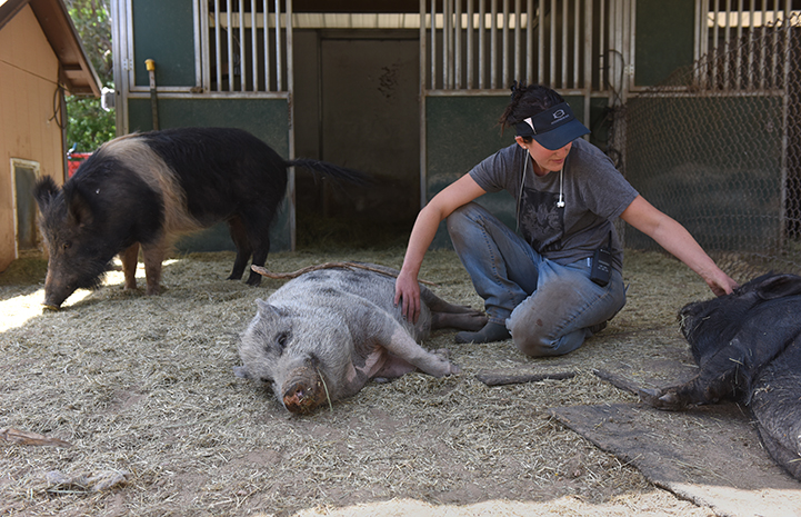 Caregiver with Holly and Phillipe and Rosalie the napping potbellied pigs