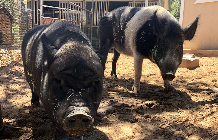 Roxy and Holly the potbellied pigs are pals
