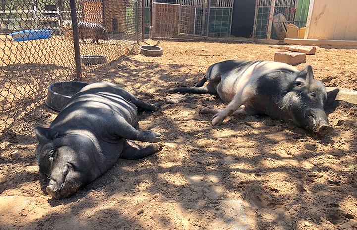 Roxy and Holly the potbellied pigs taking a nap together