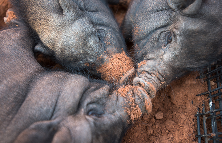 Three black potbellied pigs napping with their snouts together