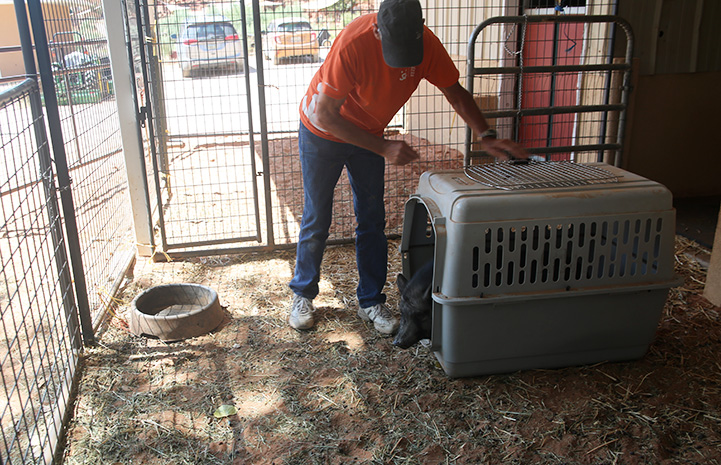 Mary Jane the pig leaving the crate in an enclosure while Don Clark watches