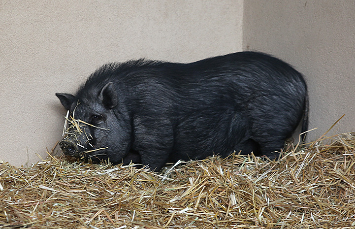 Mary Jane the pig in an enclosure