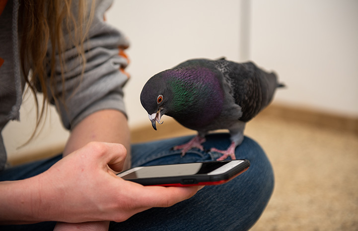 Magma the pigeon looking down at a cell phone someone is holding and you can see her unique beak