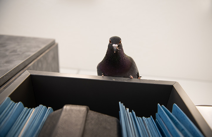 Magma the pigeon looking down from the top of a bookshelf