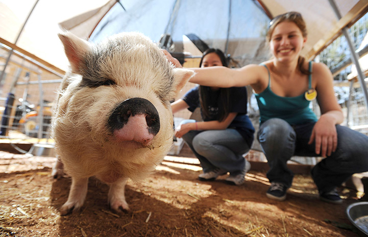 Hazel the potbellied pig being petted by a UCLA volunteer