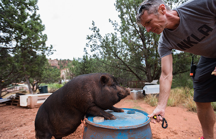 Potbellied pig Kennedy learns agility with positive reinforcement from caregiver Glenn