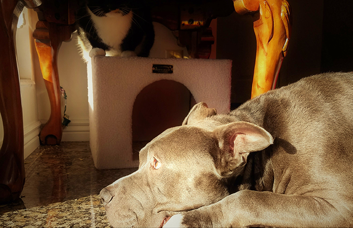 Frankie the gray and white pit-bull-type dog enjoying life in his new home
