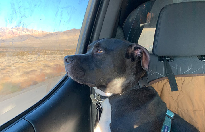 Patrick the black and white pit bull mix dog in the back seat of a car looking out a window