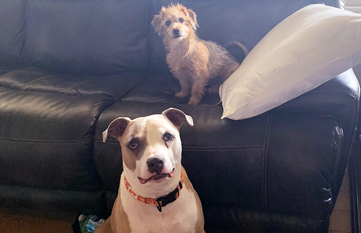 Bullseye the pit bull terrier and puppy Harley Quinn the puppy sitting by each other by a couch