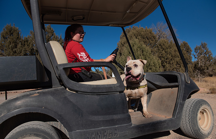 Woman giving Calvin the dog a ride in a golf cart
