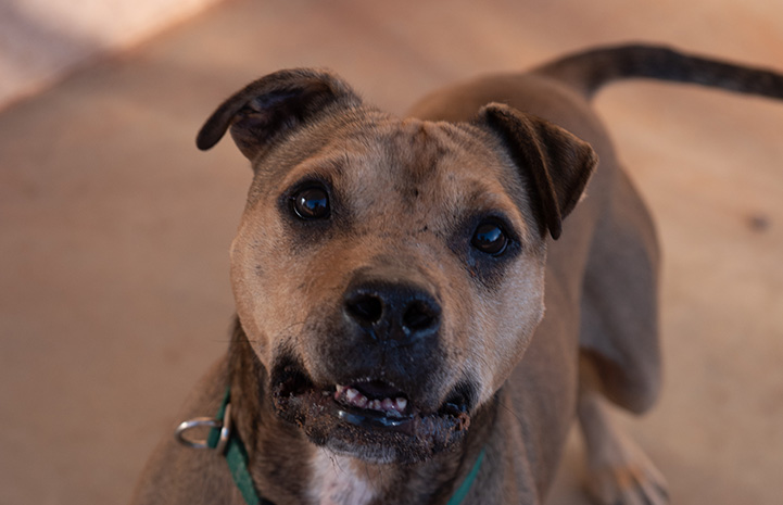 A photo of the face of Dingo, the brown pit bull terrier dog