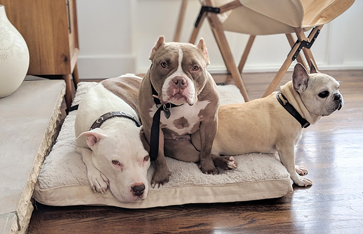 Midge the pit bull terrier sharing a bed with two of Melissa's dogs