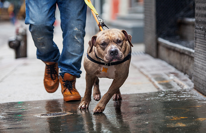 Brindle pit bull terrier, Tazz, out on a walk on a leash and harness on a New York street, with a person behind him