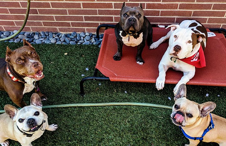 Captain Cowpants the pit bull terrier posing with four other dogs