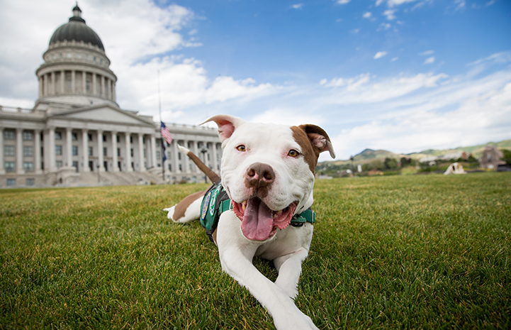 Captain Cowpants the dog posing in front of the Utah Capitol