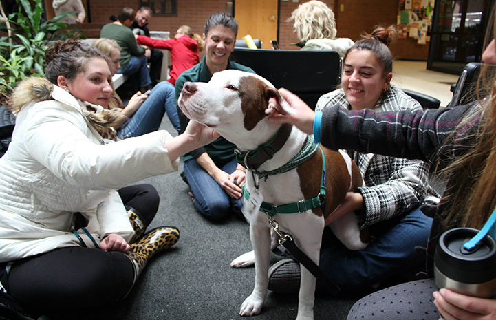 Captain Cowpants the pit bull terrier working at the University of Utah College of Social Work