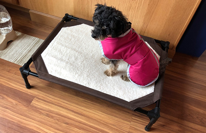 Angelina the poodle wearing a pink jacket and sitting on a dog bed