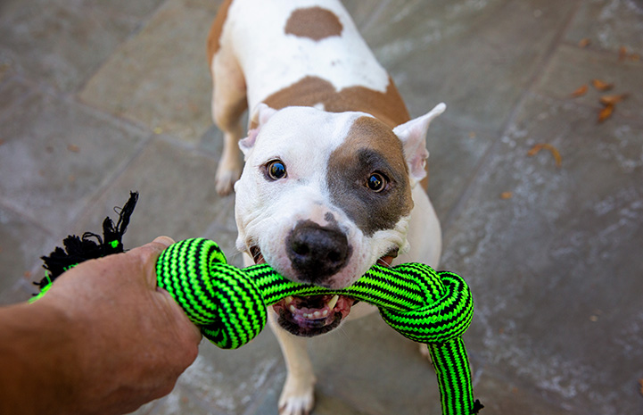Staffordshire terrier Jewel playing with a green tug toy with a person