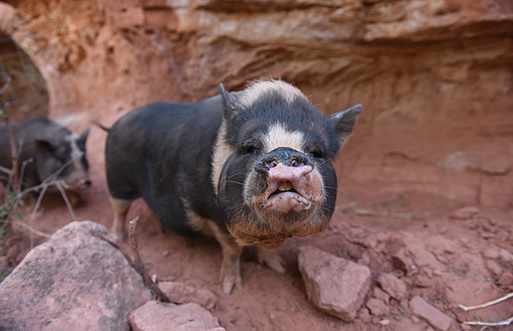 White and gray potbellied pig with mouth open