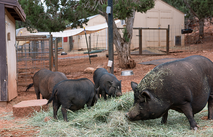 Three potbellied pigs rooting around a hay pile
