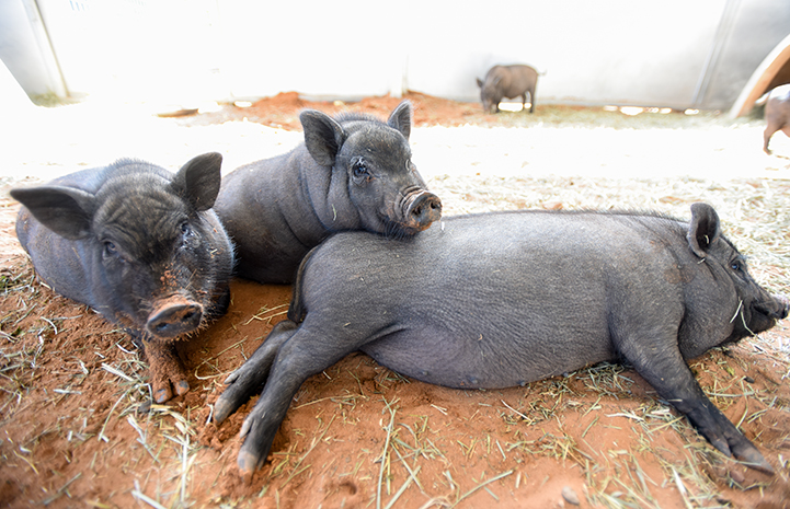 Two young potbellied piglets surrounding another pig lying on the ground