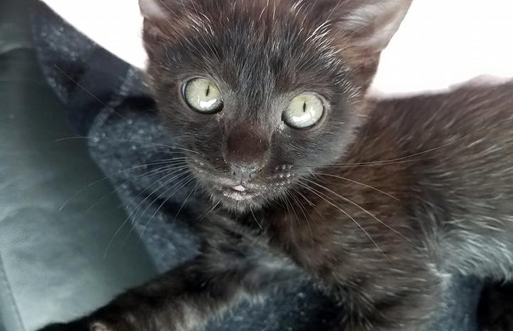Dooney the black kitten lying on a blanket