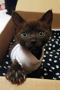 Tiny black kitten with large eyes, wearing a sweater and climbing out of a box