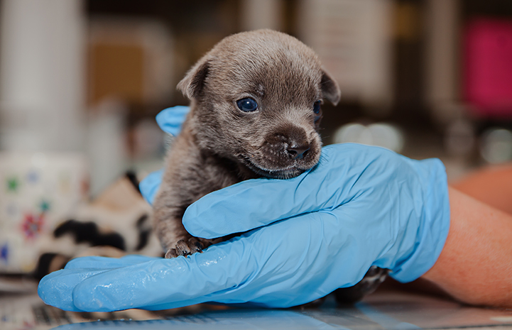 A blue gloved hand holding Bear, a very young neonatal puppy
