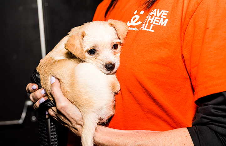 Scruffy tan terrier puppy being held by someone wearing a Best Friends T-shirt
