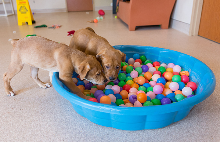 Pair of brown puppies playing in a kiddie pool full of multi-colored balls