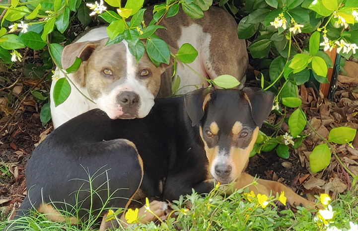Felix the puppy and another dog lying together in some greenery outside