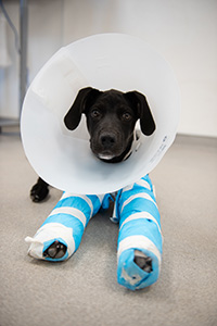 Toby the puppy wearing two splints and a protective cone