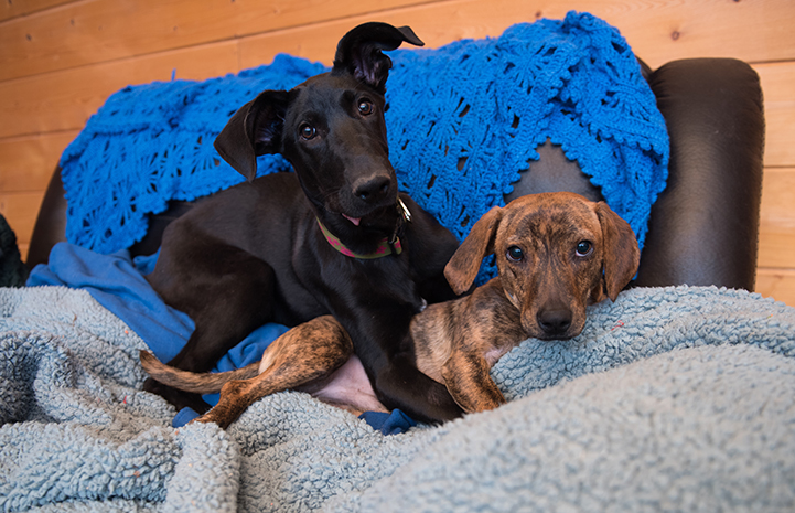 Panini was one in a litter of six Great Dane puppies named after different types of sandwiches